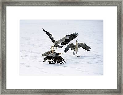 Grey Herons Fighting Over A Fish Framed Print