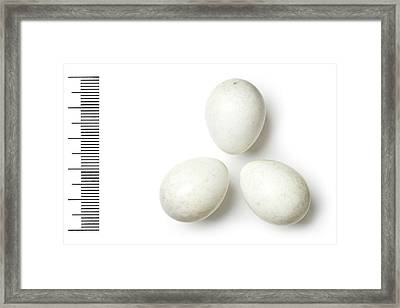 Grey Hypocolius Framed Print by Natural History Museum, London