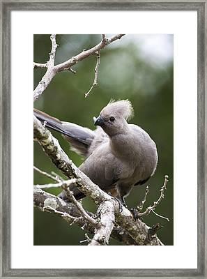 Grey Lourie/goaway Bird Framed Print by Sean McSweeney