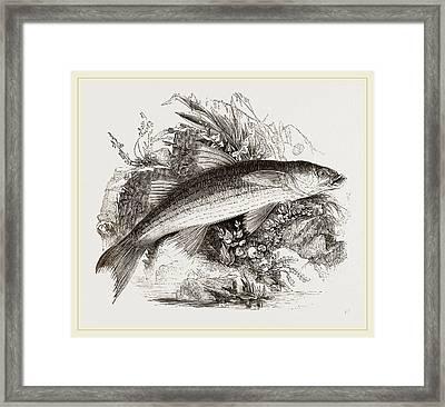 Grey Mullet Framed Print