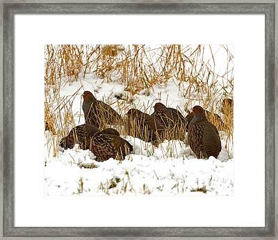 Grey Partridge In Snow Framed Print