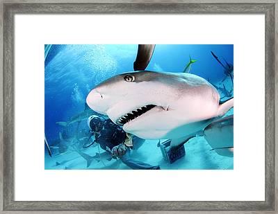 Grey Reef Shark Framed Print by Liudmila Di