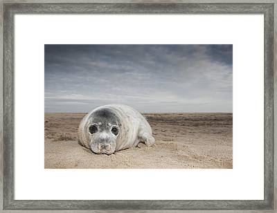 Grey Seal On Beach Norfolk England Framed Print by Kyle Moore