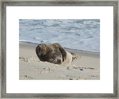 Grey Seal Pup On Beach Framed Print by Kimberly Perry