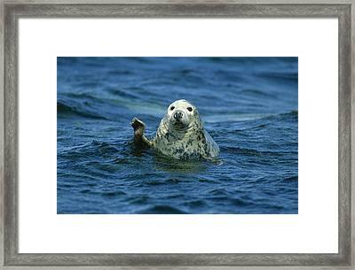 Grey Seal Waving Framed Print by Martin Woike