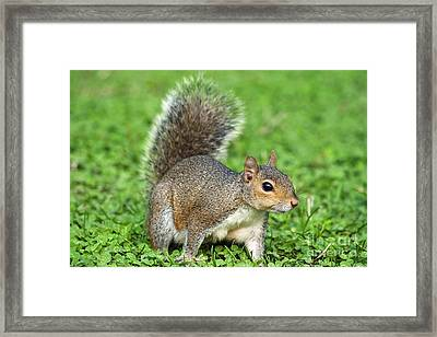 Framed Print featuring the photograph Grey Squirrel by Antonio Scarpi