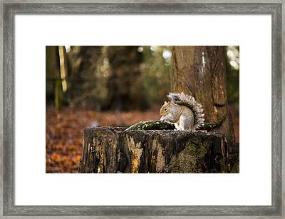 Grey Squirrel On A Stump Framed Print