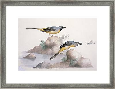 Grey Wagtail, 19th Century Framed Print by Science Photo Library