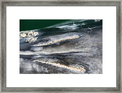 Grey Whale Blowhole Framed Print