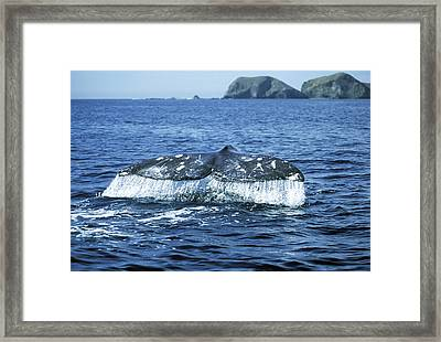 Grey Whale Tail Framed Print by M. Watson