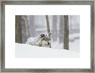 Grey Wolf  Canis Lupus  During A Snow Framed Print by Dominic Marcoux