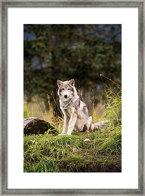 Grey Wolf  Canis Lupus  Pup Roams It S Framed Print by Doug Lindstrand