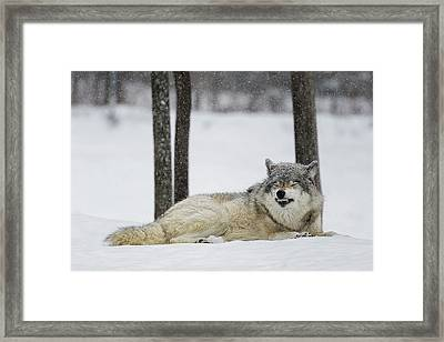 Grey Wolf  Canis Lupus  Showing Framed Print by Dominic Marcoux