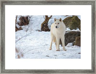 Grey Wolf Framed Print by Everet Regal