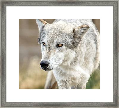 Framed Print featuring the photograph Grey Wolf Eyes by Yeates Photography