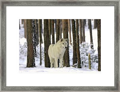 Grey Wolf In Winter Framed Print by Bildagentur-online/mcphoto-schulz