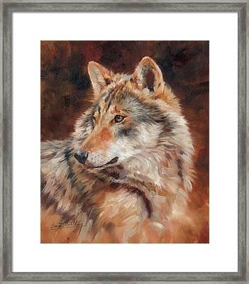 Grey Wolf Portrait Framed Print by David Stribbling