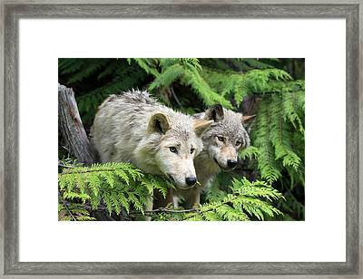 Grey Wolves Framed Print by Dr P. Marazzi