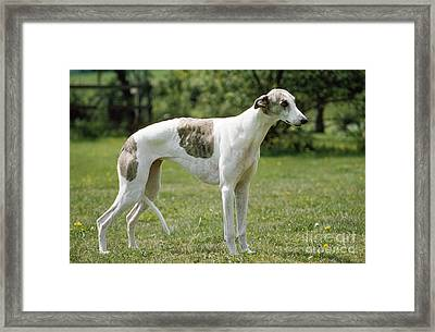 Greyhound Dog Framed Print by John Daniels