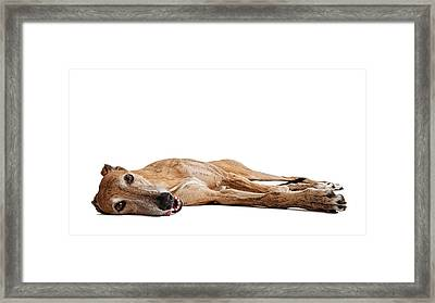 Greyhound Dog Laying Down Framed Print by Susan Schmitz