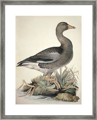 Greylag Goose, 19th Century Framed Print by Science Photo Library
