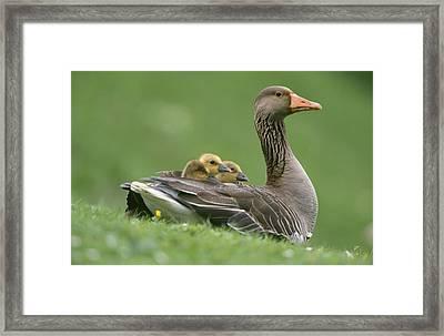 Greylag Goose And Goslings Framed Print by Duncan Usher