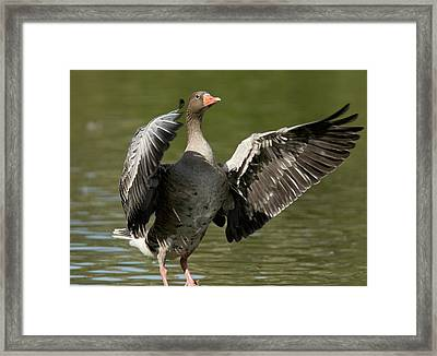 Greylag Goose Flapping Its Wings Framed Print