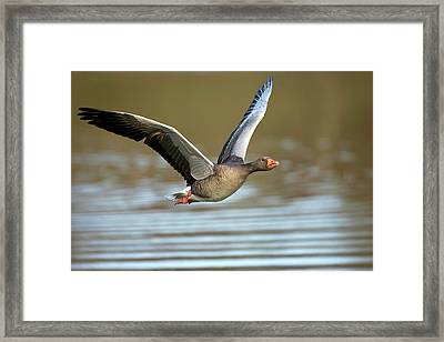 Greylag Goose In Flight Framed Print by Bildagentur-online/mcphoto-rolfes