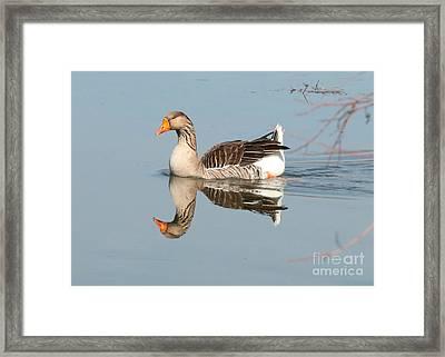 Greylag Goose On Calm Water Framed Print by Carol Groenen