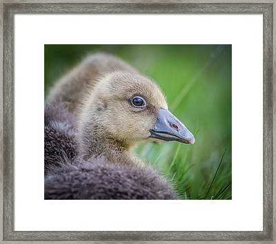 Greylag Goslings, Iceland Framed Print by Panoramic Images