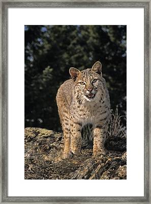 G&r.grambo Mm-00006-00275, Bobcat On Framed Print by Rebecca Grambo
