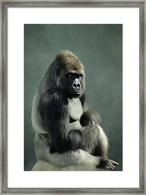 G&r.grambo, Mm-52-15 Lowland Gorilla Framed Print by Rebecca Grambo