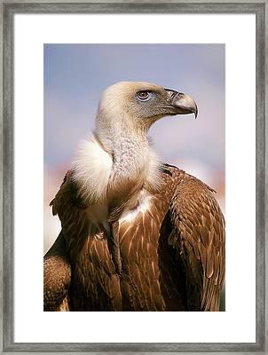 Griffon Vulture (gyps Fulvus) Framed Print