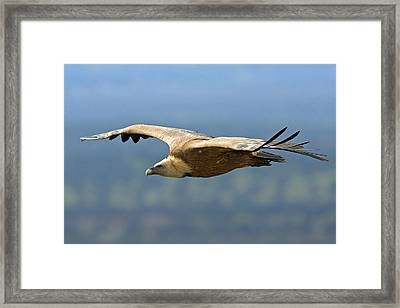 Griffon Vulture In Flight Framed Print