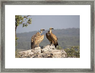 Griffon Vulture Pair Extremadura Spain Framed Print by Gerard de Hoog