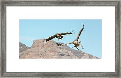 Griffon Vultures Flying Framed Print
