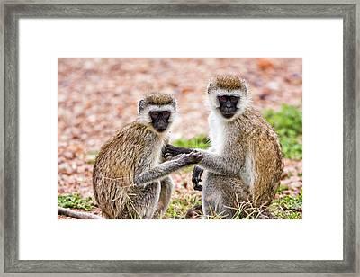 Grivet Monkey Chlorocebus Aethiops Framed Print