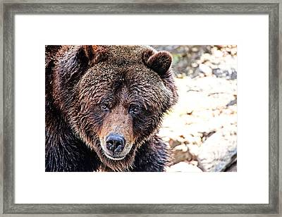 Grizz Framed Print by Karol Livote
