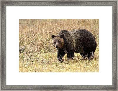 Grizz Framed Print