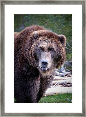 Grizzly Framed Print by Athena Mckinzie