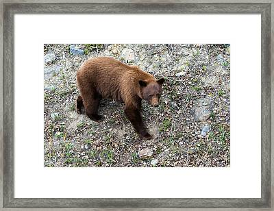 Grizzly Bear 1 Framed Print by Andy Fung