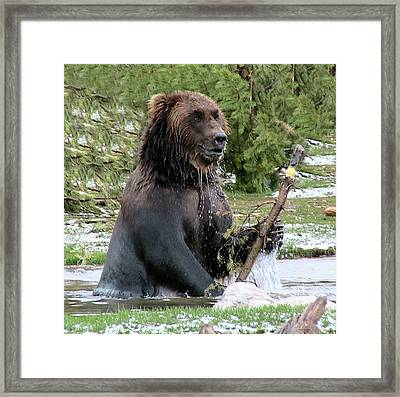 Grizzly Bear 6 Framed Print by Thomas Woolworth
