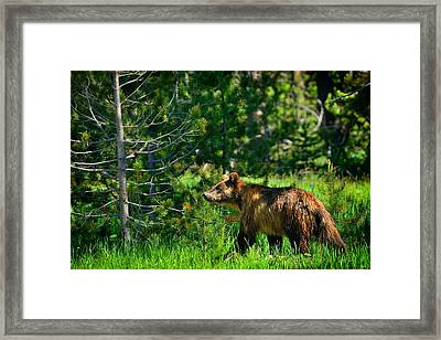 Framed Print featuring the photograph Grizzly Bear 760 by Greg Norrell