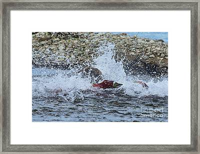 Brown Bear Chasing Salmon While Salmon Jump To Escape Framed Print by Dan Friend