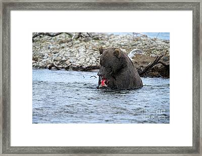 Brown Bear Eating Salmon Framed Print by Dan Friend