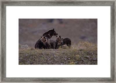 Grizzly Bear Family Framed Print