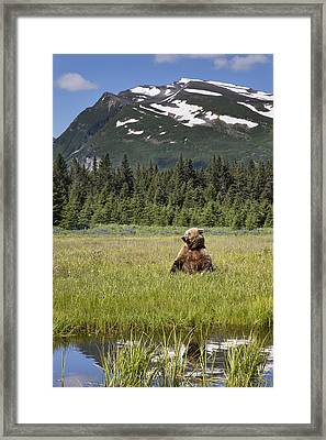Grizzly Bear In Meadow Lake Clark Np Framed Print