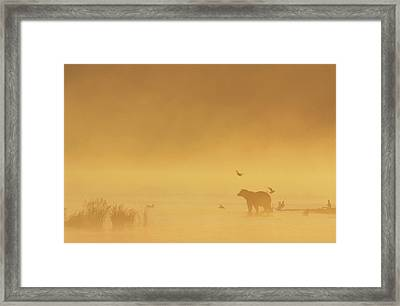 Grizzly Bear In Morning Fog Framed Print by Matthias Breiter