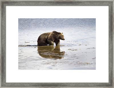 Grizzly Bear In Muddy Water Framed Print by Mike Cavaroc