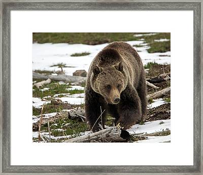 Framed Print featuring the photograph Grizzly Bear In Spring by Jack Bell